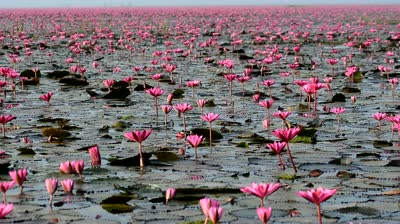 Red Lotus Festival at Lake Nong Harn near Udon Thani