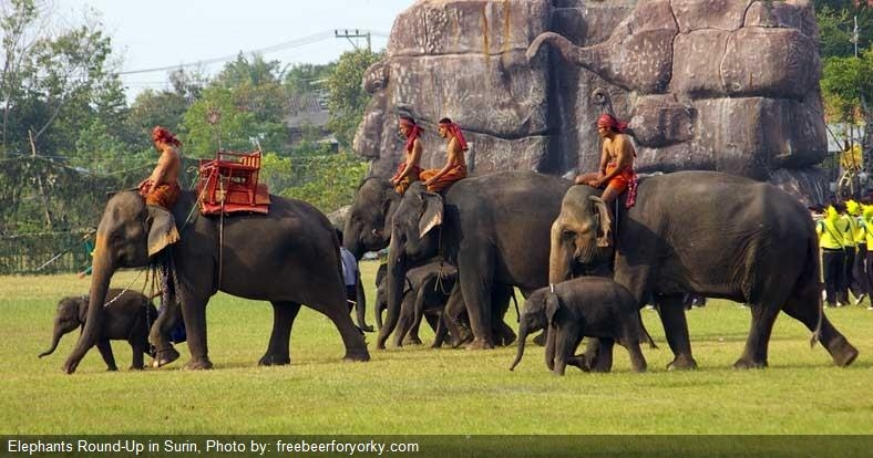 elephant-round-up-surin
